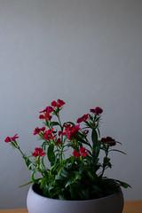 Dianthus (Mytacism) Tags: flowers pots dianthus nejlika nikon d610 50mm plants