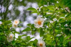 (kderricotte) Tags: tree flower plant bokeh depthoffield sony sonya7ii helios helios44m458mmf2 vintagelens ilce7m2