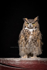 The Provider (TNWA Photography (Debbie Tubridy)) Tags: greathornedowl owl wildlife adult provider nature raptor birdofprey master wise wild habitat portrait environment natural behavior observant stare outdoors debbietubridy tnwaphotography