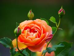 A rose in the sun (seenbynick) Tags: rose rosebush garden nature outdoors sunshine buds park macro orange heskethparksouthport