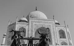 @ Taj | 2017. (Vijayaraj PS) Tags: tajmahal wonder agra india architecture shahjahan mumtaj asia whitemarble marble mughal wonderofworld outdoor tajmosque indianheritage nikond3200 nikon nikonofficial incredibleindia bullocks bull