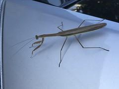Preying Mantis (kahunapulej) Tags: preying mantis bug insect car