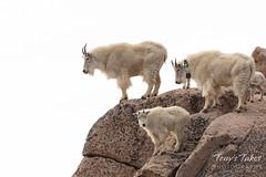 Mountain Goats on high
