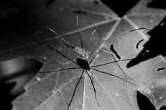 Harvestmen Shadow (timvandenhoek1) Tags: harvestmen granddaddylonglegs blackandwhite sonyilce6000 sonylaea4 sonyamount50mmf28macro midwest missouri macro insect timvandenhoek