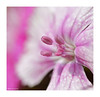 Dappled pink flower (Graham Pym) Tags: nikon petals flora pink stigma fantasticnature ngc