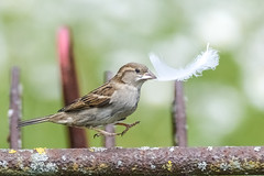 As light as a  feather (Paul wrights reserved) Tags: sparrow feather bird birding birdphotography birds birdwatching birdinflight hop jump metal feet claws beak eye action actionphotography