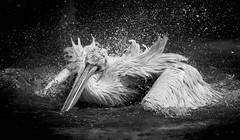 storm in the bath (rondoudou87) Tags: pélican pelecanus oiseau oiseaux bird wildlife wild water eau pentax k1 nature natur parc du reynou park zoo 300mm sauvage light lumière plume feather bokeh smc f40 lumiere sunlight smcpda300mmf40edifsdm monochrome blanc black blackwhite noiretblanc noir white bw