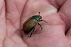 Dune chafer (Steve Balcombe) Tags: insect beetle dune chafer coleoptera scarabaeidae anomala dubia green berrow burnham sand dunes somerset uk naturephotography