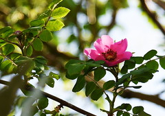 DSC_0282 (PeaTJay) Tags: nikond750 reading lowerearley berkshire macro micro closeups gardens outdoors nature flora fauna plants flowers rose roses rosebuds