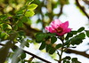 DSC_0282 (PeaTJay) Tags: nikond750 reading lowerearley berkshire macro micro closeups gardens outdoors nature flora fauna plants flowers rose roses rosebuds