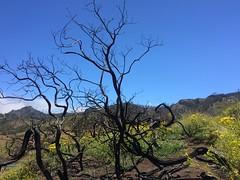 arbol quemado Senderismo Ruta desde Pico de las Nieves a Cueva Grande Gran Canaria  12 (Rafael Gomez - http://micamara.es) Tags: arbol quemado senderismo ruta desde pico de las nieves cueva grande gran canaria