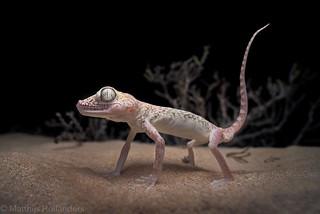 Dune Sand Gecko (Stenodactylus doriae)