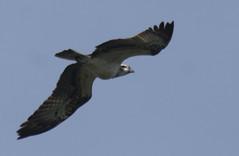 Osprey (lord wardlaw) Tags: osprey staffordshire rspb middleton lakes