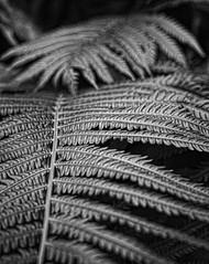 Fern in My Yard (Dave Linscheid) Tags: plant blackandwhite summer spring butterfield watonwancounty mn minnesota usa topazblackandwhiteeffects2