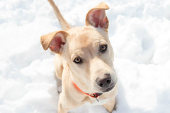 Jimmy (Pet Haven) Tags: animalhumanesociety ahs euthanasialist labradorretriever lab pitbullterrier pitbull jimmy