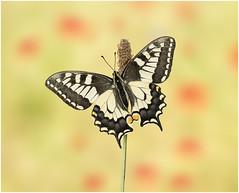 Swallowtail (Kasia Bukowska) Tags: butterfly macro wildlife wildlifephotography wings closeup colorfull insect insects nikon sigma summer sunny papilionidae papillon naturephotographycloseup nature