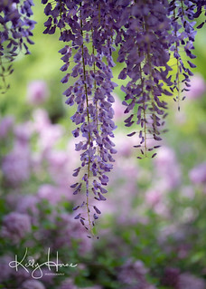 In pale moonlight, the wisteria's scent comes from far away.  Yosa Buson
