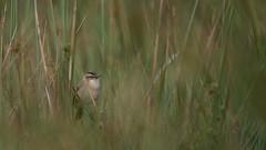 Marsh bird (Pascal Bernardin) Tags: phragmitedesjoncs acrocephalusschoenobaenus sedgewarbler