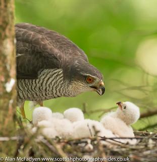 20th June 2018 Female Sparrowhawk
