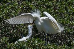 Frantic Feed (MelRoseJ) Tags: newark california unitedstates us birds bayarea nature northerncalifornia a77ii alpha autofocus sonyalpha sony sonyilca77m2 sal70200g egret