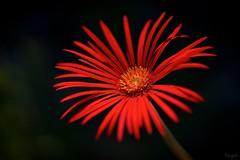 ガーベラ Gerbera (takapata) Tags: sony sel90m28g ilce7m2 macro nature flower