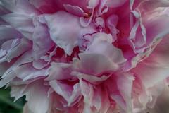 Susan's Pink (gabi-h) Tags: pink peony macro petals garden gabih spring dreamy pretty