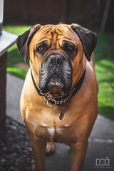 173/365 - Bruce (Forty-9) Tags: photoaday eflens 2018 forty9 3652018 22ndjune2018 365 day173 dog tomoskay lightroom canon portrait bruce eos60d project3652018 ef50mmf18ii dogphotography friday june project365 173365 22062018