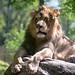 Lion Posed