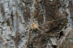 20160625_104544_Макро (Alexander Korovin) Tags: arachnida arachnids closeup dentizacheusminor longlegs macro opiliones phalangiumopilio длинныелапы макро макромир паукообразные сенокосецобыкновенный сенокосцы жж