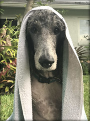 Bath time is successful when my Mom gets wetter than I do   -MylesMyles B. Real 25/52 (SpooAddicts & the SpooCrew) Tags: 52weeksfordogs poodle myles towel standard portrait standardpoodle nose bath bathtime turkishbath stare staredown