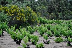Vignoble de Languedoc-Roussillon (RIch-ART In PIXELS) Tags: tarerach pyrénéesorientales france vignoble grapeyard landscape pyrénées balai broom flower flowering nikon tree