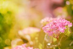 fleur rose (Chocolatine photos) Tags: fleur rose bokeh photo photographesamateursdumonde pdc pastel printemps flickr flowers nikon