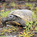 Plum Creek tortoises (317)