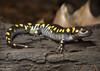 Spotted Salamander (Nick Scobel) Tags: spotted salamander ambystoma maculatum michigan spring amphibian vernal pool breeding caudata caudate spots yellow color blotches colorful gem night