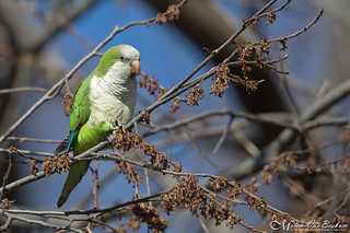 Monk Parakeet (Wild - NJ)