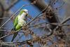 Monk Parakeet (Wild - NJ) (Mitch Vanbeekum Photography) Tags: monk parakeet monkparakeet wild nj newjersey quakerparrot parrot quaker myiopsittamonachus perched mitchvanbeekum mitchvanbeekumcom canon14teleconvertermkiii canoneos1dx canonef500mmf4lisiiusm green white bird