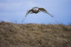 Snowy Owl (aj4095) Tags: snowy owl nature wildlife ontario canada outdoor bird spring