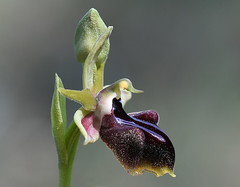 Ophrys mammose (sp morio) (festoon1) Tags: flower plant orchid cyprus