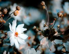 Bokeh Flowers (Mike_Mulcahy) Tags: green nikon d7000 70300mm flowers blue nz newzealand hawkesbay napier plants garden goodbyesummer