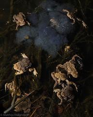 Breeding Toads (Matthijs Hollanders) Tags: toad common commontoad pad gewonepad bufo bufobufo frog amphibian wildlife nederland netherlands matthijshollanders