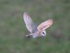 Barn Owl Eldernell  14-04-2018-4239 (seandarcy2) Tags: raptors birds prey eldernell rspb cambs uk wildlife barn owls