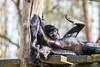 Lazy day (Photography by Martijn Aalbers) Tags: columbianspidermonkey colombiaanseslingeraap spider monkey spidermonkey aap ape deapenheul zoo dierentuin park parc apeldoorn guelders thenetherlands nederland dutch nederlands beast beest mammal zoogdier canoneos77d ef70200mmf4lisusm