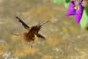 Bee Fly ... Bombylius major (AndyorDij) Tags: beefly bombyliusmajor fly aubrieta england empingham rutland uk unitedkingdom andrewdejardin 2018 insect
