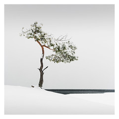 Veterans' Tree V (Vesa Pihanurmi) Tags: tree pine nature winter snow landscape seascape minimalism helsinki finland thebaltic treesarepoems poetryoftrees