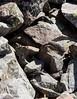 Alpine rock skink (Oligosoma sp.) (ROCKnVOLE Photography) Tags: oligosoma nsp judgei barrier skink alpinerockskink alpine hawkdun scree reptile lizard