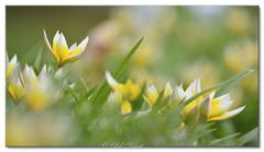Un peu de douceur avec ces fleurs du jardin. The garden flowers. (Bob_Reinert) Tags: tarda tulipe spring printemps garden jardin basrhin alsace nikon nature bobreinert fleurs flowers french france