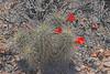 CAE011857a (jerryoldenettel) Tags: 180413 2018 beehivecactus cactaceae caryophyllales coreeudicots echinocereus echinocereuscoccineus garfield nm scarletbeehivecactus sierraco wildflower cactus flower northastofgarfield