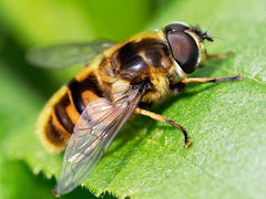 Hover fly (martin_swatton) Tags: hover fly insect bug olympus omd em1 mkii 60mm 28 macro handheld fareham hampshire uk