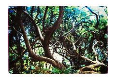 Forest interior scene (jasoux) Tags: trees abeltasmannationalpark hiking nz newzealand tramping trek backpack wilderness branches foliage outdoors walking track walkway trip bush bushwalk forest xprocess crossprocess crossprocessed ricohxr2
