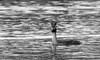 9Q6A8305 (2) (Alinbidford) Tags: alancurtis alinbidford brandonmarsh greatcrestedgrebe nature wildbirds wildlife